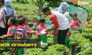 Petik Strawberry Pacet